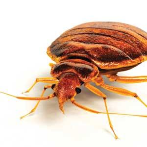 Minimizing the Bedbug's Bite